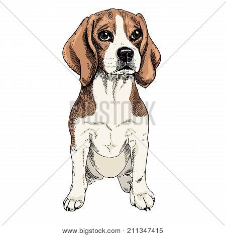 Close-up portrait of sitting Beagle dog. Colored illustration. Vector engraved art. Friendly smilling puppy isolated on white background. Pet shelter, flyer, poster, clothing prints. Sketched poster.
