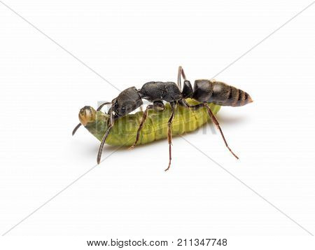 Extreme close-up image of Pachycondyla rufipes worker ant killing and transporting dead green worm on white background