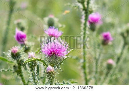 Cirsium vulgare Spear thistle Bull thistle Common thistle short lived thistle plant with spine tipped winged stems and leaves pink purple flower heads surrounded by spiny br.