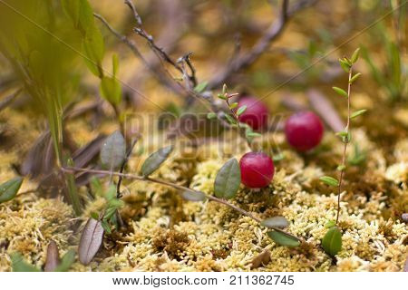 Red berries of cranberries on damp moss. Cranberry in autumn forest background. A plan of a carp a top view. Close-up.