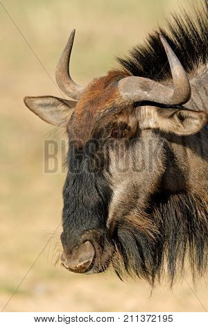 Portrait of a blue wildebeest (Connochaetes taurinus), Kalahari desert, South Africa