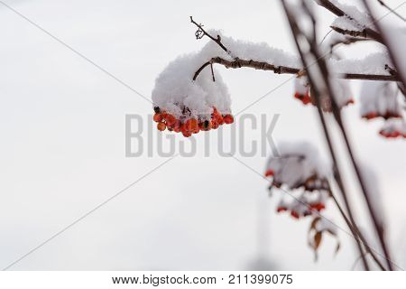 Mountain Ash Under Snow. Red Berry Under Snow.