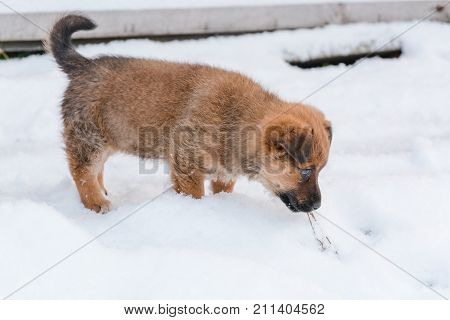 Little puppy in the winter. The little dog goes on snow. First snow and dog.