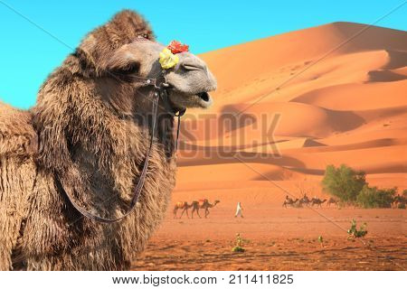 Bactrian camel (Camelus bactrianus) and caravan of camels in Sahara desert, Morocco. One camel,  drivers-berbers with dromedary and sand dunes on blue sky background