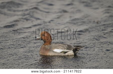 Wigeon male on a loch quacking, close up