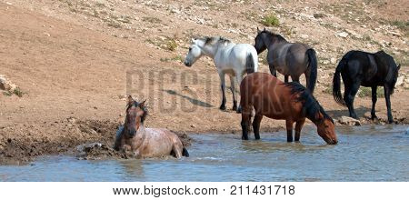 Red Roan stallion rolling in the water with herd of wild horses in the Pryor Mountains Wild Horse Range in Montana United States