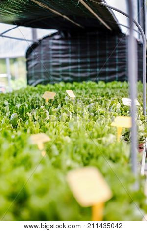Plants in the green house ready for wholesale to distributors