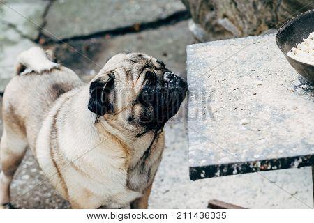 Baby pug. Dog pug. Close up face of a very Cute pug