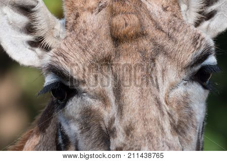 Close-up of a giraffe's head with focus on the eyes