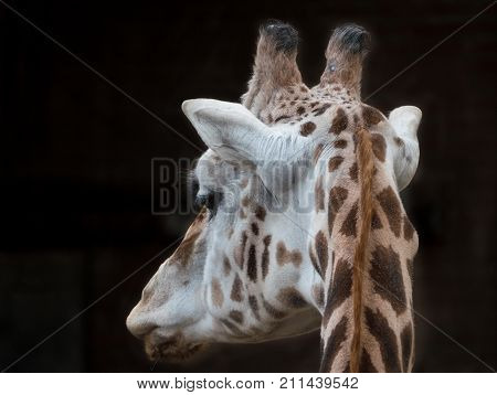 Close-up of a giraffe's head as seen from the back
