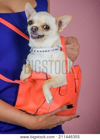 Puppy face with happy smile on violet background. Chihuahua dog smiling in orange bag. Protection alertness bravery. Pet companion friend friendship. Devotion and constancy concept.