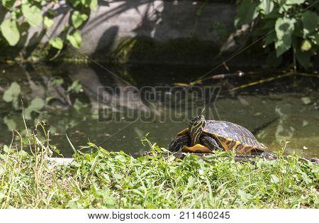 Freshwater American Turtle In Europe