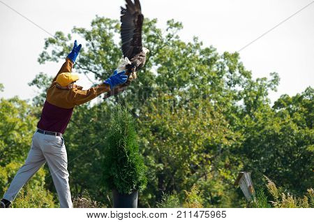 HASTINGS, MN/USA - SEPTEMBER 23, 2017: Volunteer releases rehabilitated bald eagle into the wild at Carpenter St. Croix Valley Nature Center during raptor release event in Hastings, Minnesota.