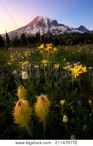 Wildflower In Mount Rainier National Park, Washington