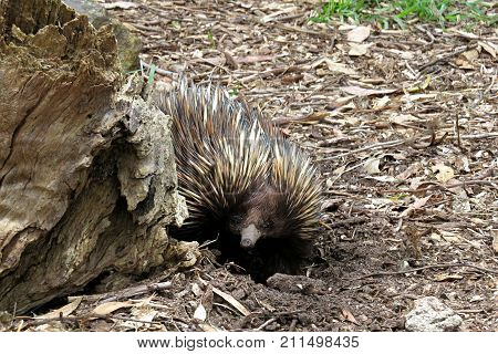 Australian Echidna animal on the ground. Peers around a tree trunk. Spiny anteater monotreme.