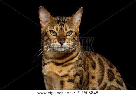 Portrait of Angry Gold Bengal Cat Gazing on isolated Black Background, front view poster