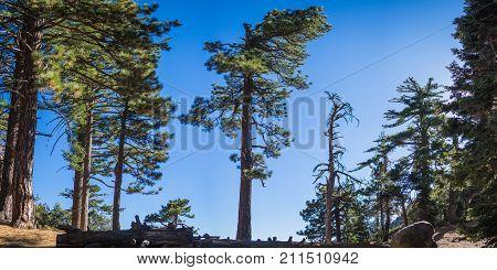 Line Of Pine Trees Panorama