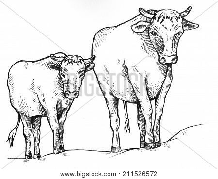 Cow and a calf walk along the road. Sketch style. Bull and calf return one by one from the pasture. Farm animals. Hand drawing illustration.