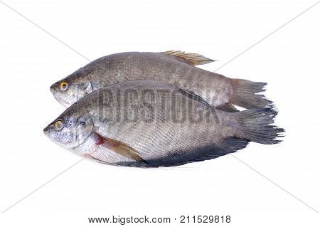 fresh gourami fish whole round on white background