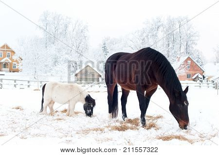 Rural horses walking on winter pasturage. Spectacular colored outdoors horizontal image.