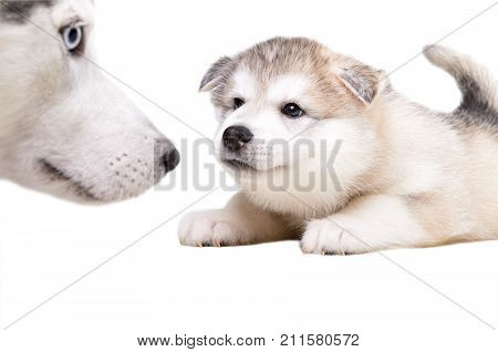 Little cute puppy of Siberian husky sniffing his mother, isolated on white background