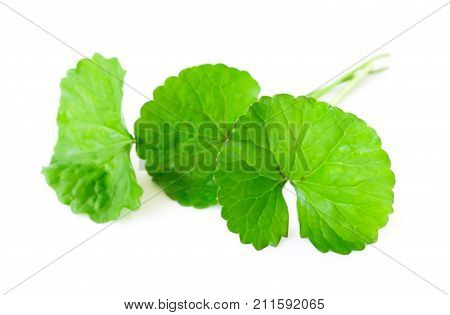 Closeup leaf of Gotu kola Asiatic pennywort Indian pennywort on white background with water drop herb and medical concept selective focus