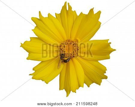 Lance-leaved coreopsis buds and yellow flower with bee isolated on white.