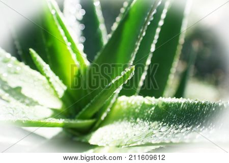Aloe Vera Plant With White Frame High Quality