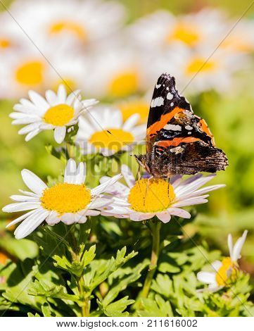 Butterfly With Orange And White Spots On Wings On White Bloom