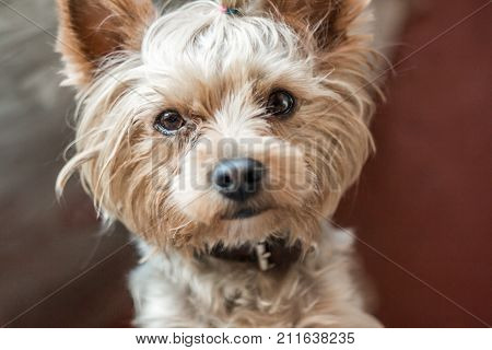 Cute puppy. Terrier with a smart look. A small handsome erzhensky terrier. A dog with an intelligent look. Friendly puppy. Beautiful hairstyle with a dog