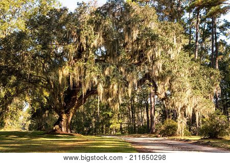 A massive live oak tree covered in Spanish moss in the low country of South Carolina