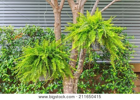 A Bush of Fern Dryopteris filix-mas hanging on a tree in the garden with wall and plant background