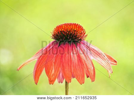 Purple Coneflower with green summer background