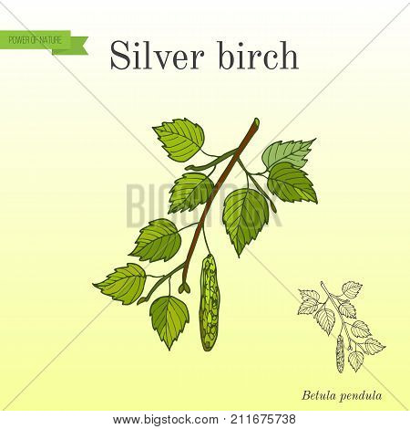Silver birch branch with green leaves. Hand drawn botanical vector illustration