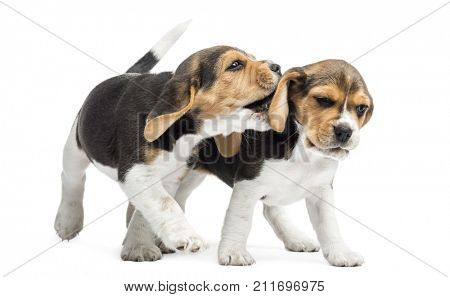 Two Beagles puppies playing together, isolated on white