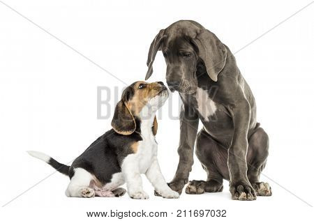 Great Dane and Beagle puppy getting to know, isolated on white