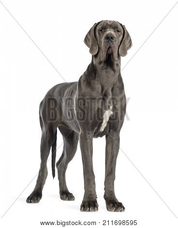 Great Dane dog, 10 months old, looking at the camera in front of white background
