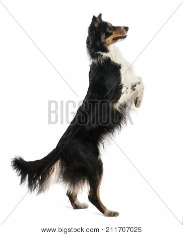 Border Collie dog standing on hind legs against white background