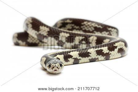 Abberant eastern kingsnake or common kingsnake, Lampropeltis getula californiae, in front of white background;  snake
