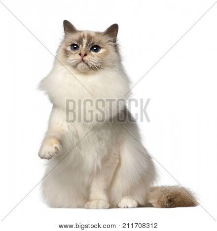 Birman cat, 9 months old, sitting against white background