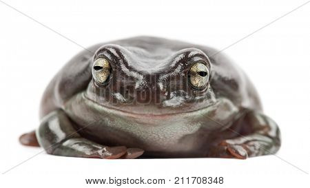 Australian Green Tree Frog, simply Green Tree Frog in Australia, White's Tree Frog, or Dumpy Tree Frog, Litoria caerulea, portrait against white background