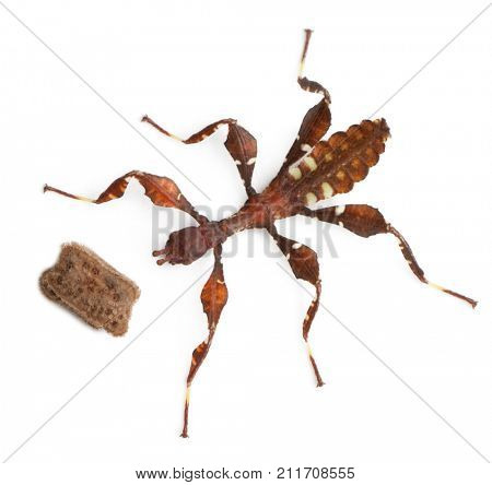 Stick insect, Baby Phyllium Westwoodii and his egg, 12 hours old, in front of white background