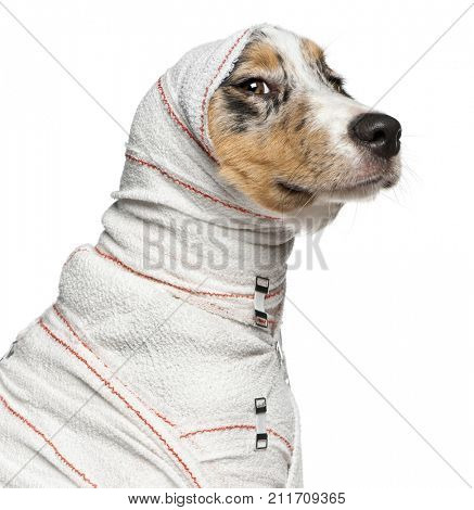 Close-up of Australian Shepherd puppy in bandages, 5 months old, in front of white background