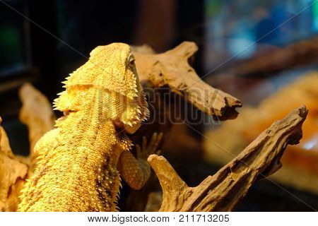 bearded dragon sitting on a wooden, reptile