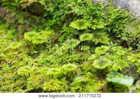 Soft focus of wet Palm Tree moss, ground moss at Kinabalu national park, Malaysia, Asia (Hypnodendron comosum)