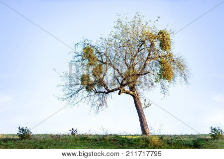 Large clumps of Mistletoe in old tree - Viscum album against clear sky as background