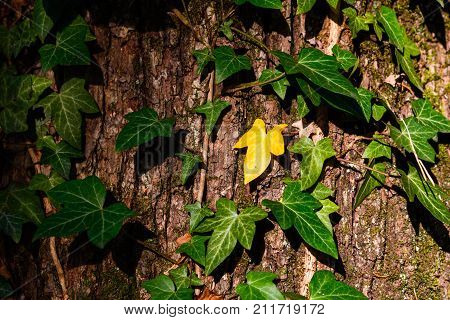 Yellow Ivy leaf amongst green ivy climbing up tree trunk, close up