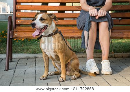 Cheerful and kind dog sits next to her owner at park in the city. Staffordshire terrier puppy and her young female owner spend time downtown sitting on bench and waiting on great summer day