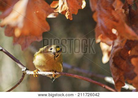 Goldcrest in oak branch with inquisitive eyes, Regulus regulus , wildlife, autumn season
