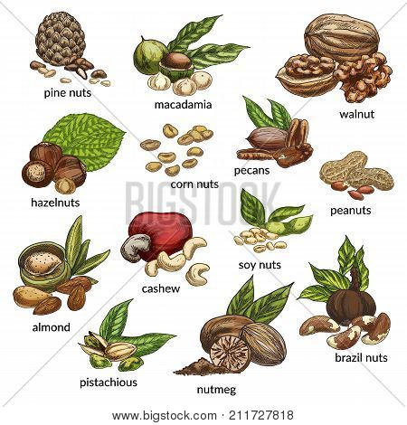 Sketch Variety of nuts food ingredients. Pine and corn, brazil nut, walnut and macadamia, hazel and pecan, pea and soy, cashew and almond, pistachio and nutmeg. Vegetarian nutrition theme